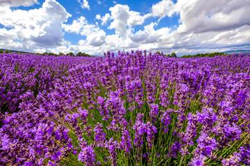 Obraz na SzkleChamp de lavande en été, ciel bleu avec des nuages, Provence, France.