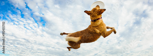 Yellow Labrador Retriever dog outdoor portrait jumping up to catch frisbee again Canvas Print