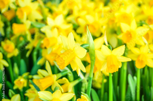 Deurstickers Narcis Field of yellow daffodils