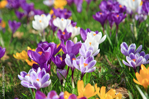 Photo sur Aluminium Crocus Krokusse