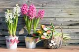 Duftende blühende Hyazinthen und Tulpen im Weidenkorb im Frühling