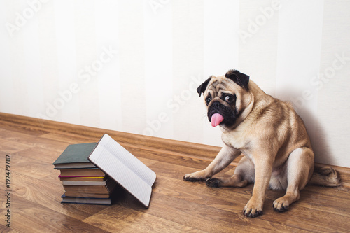 фотографія  A pug dog with his tongue hanging out sits on the floor beside the books