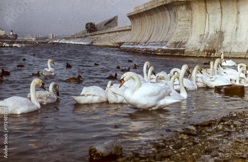 Fotografie, Obraz  Swans in the pond. A flock of swans.