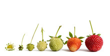 Strawberry Growth Isolated