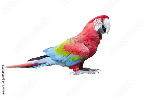 side view full body of scarlet ,red macaw bird isolated white background Wallpaper Mural