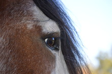 Clydesdale Eye