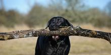 Black Labrador Retriever Holdi...