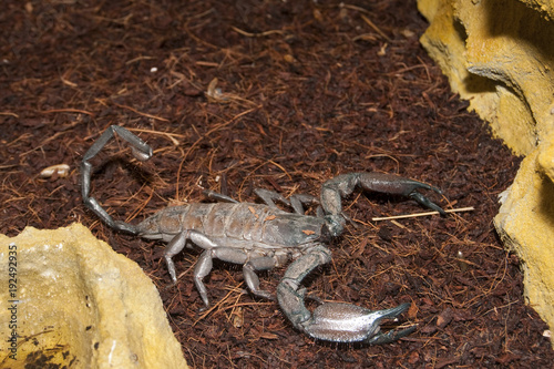 Fotografía  Thick Tailed Scorpion (Tityus sp.)
