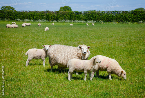 English rural landscape in with grazing sheep Wallpaper Mural