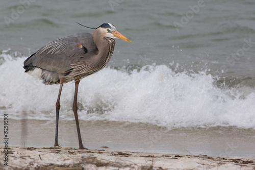 Photo Blue Heron (Ardea berodias)
