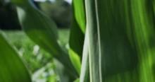1862 Corn Field Blowing In The...