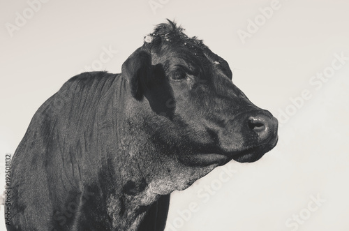 Cute black angus cow on ranch, takes side portrait of head Canvas Print