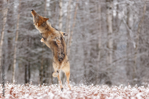 фотография  Wolf im Schnee