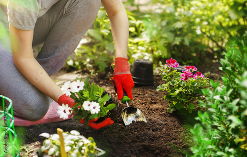 Papiers peints Jardin Gardener woman planting flowers in the summer garden at morning