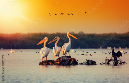Fotomural  Pelican colony in Danube Delta Romania