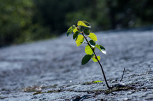 A Lonely Small Tree Rising Fro...