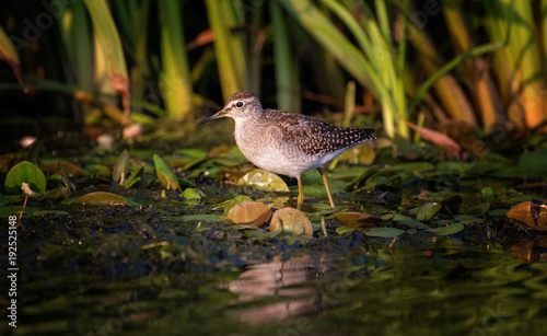 Photo  Wood Sandpiper (Tringa glareola)