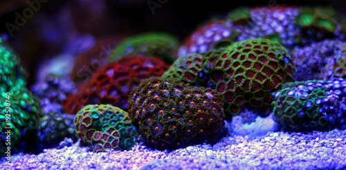 Poster Sous-marin Zoas coral colony garden in coral reef aquarium tank