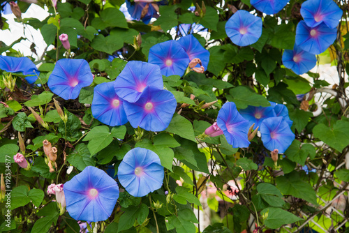 Fotografie, Tablou  Image of a Blue flower of Morning Glory (Ipomoea)  in the garden