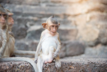 Image Of A Baby Monkey (macaca Fascicularis,Long-tailed Macaque, Crab-eating Macaque) ,Portrait Of Cute Monkey In Lop Buri ,thailand