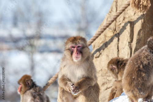Fotografie, Obraz  Monkey sitting on the snow surface looking at the camera in bright day time at z