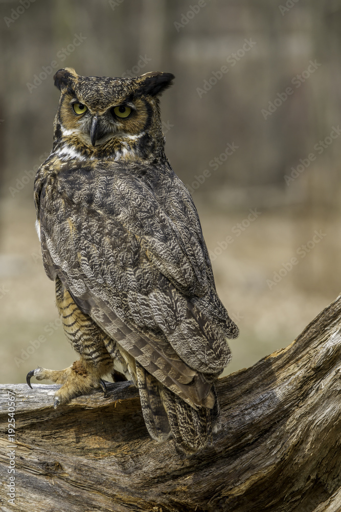 Fototapeta Great horned owl