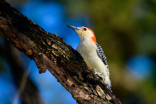 Red-Bellied Woodpecker - Melan...
