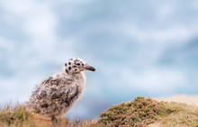 Baby Seagull Chick