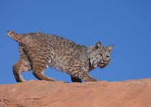 Bobcat Crouched On Top Of A Red Rock Ridge In The Desert Of Southern Utah With Blue Sky In The Background
