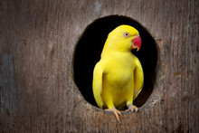 Yellow Parrot.