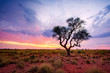 canvas print picture - A Hakea tree stands alone in the Australian outback during sunset. Pilbara region, Western Australia, Australia.