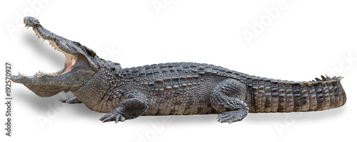Poster de jardin Crocodile Crocodile with open mouth isolated on white background with clipping path