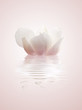 magnolia blanca sobre el agua
