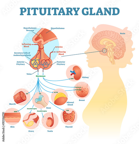 Pituitary gland anatomical vector illustration diagram, educational ...