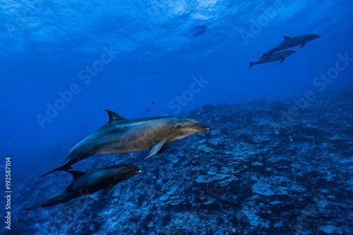 Fotografie, Obraz  maman dauphin tursiop ayant adopté un péponocéphale
