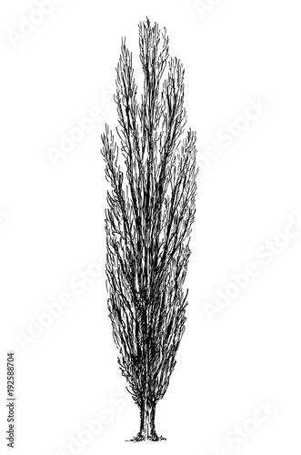Fototapeta Cartoon vector doodle drawing illustration of broadleaved or deciduous slender poplar tree