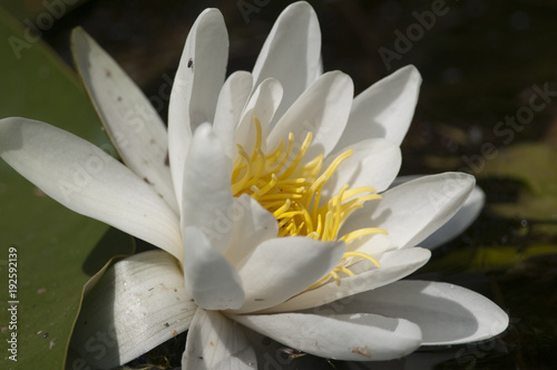 Poster de jardin Nénuphars White Water Lily