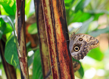 Large Owl Butterfly Perched On The Edge Of A Plant Stem With A Natural Green Background
