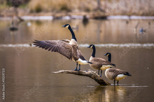 A horizontal photo of three Canadian geese on a brown branch coming out of a pon Fototapet