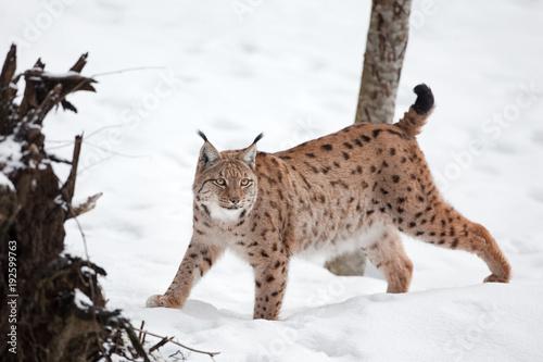 Fotobehang Lynx Eurasian lynx, lynx lynx, Germany