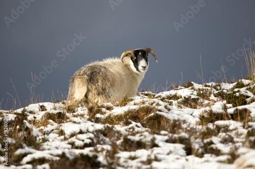 Photo Scottish Blackface sheep, Isle of Skye