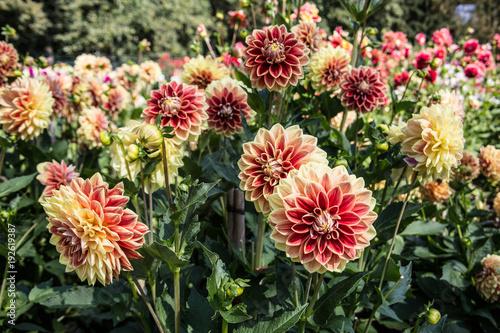 Poster de jardin Dahlia Dahlienblüten im Farbenrausch
