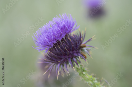 Fiore di cardo Fototapeta