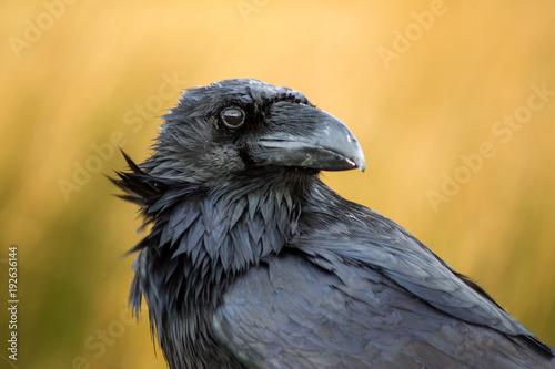 A raven in Dartmoor, UK Canvas Print