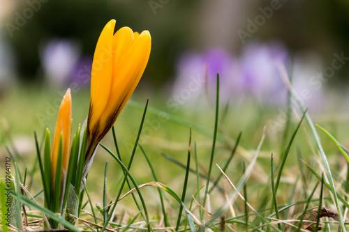 gelber Krokus mit lila Krokusse im Hintergrund