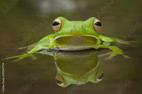 Deurstickers Kikker Swimming Frog