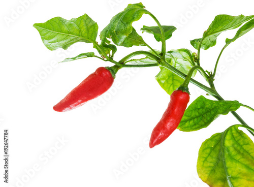 Red chilli peppers isolated on a pure white background, with bright green leafs Fototapete