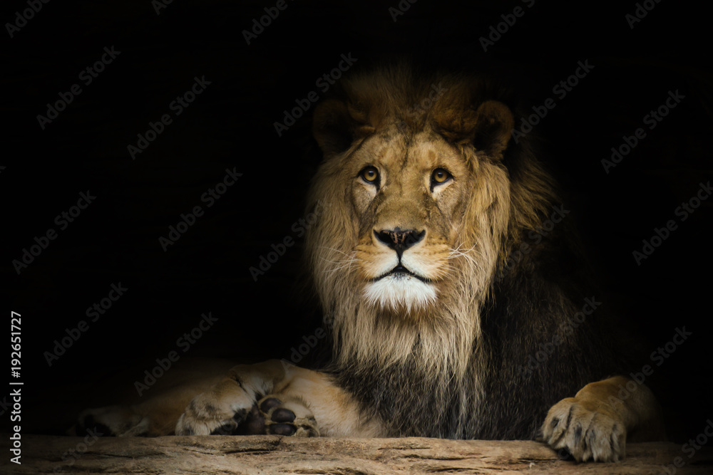 Lion with a fixed look