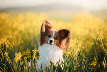 Dog In The Grass. Papillon.