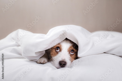 Photo Dog in bed. Jack Russell Terrier